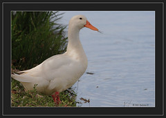 Pesky feather-4730 (Barbara J H) Tags: bird duck pekingduck australia qld buderim naturesfinest whiteduck barbarajh northbuderimlake