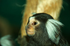 Day 70 - Marmoset