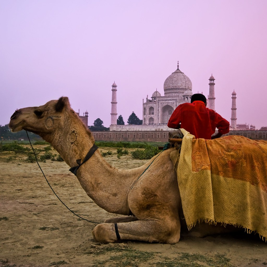 The Wandering Camel at the Taj