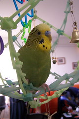 Silly Pesto (Lovely Darkness) Tags: green budgie parakeet