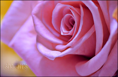 Deceptive! so very. (sharaff) Tags: trip family pink flowers friends light vacation flower macro art me water beauty rose yellow photoshop movie lyrics interestingness interesting aperture nikon photos tag explore adobe yesterday today f11 deceptive gladiator d300 105mm lyrical shoken sharaf sharaff deceieve