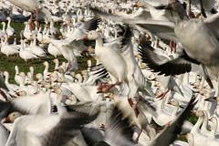 Snow Geese (Marta_9) Tags: skagit snowgeese
