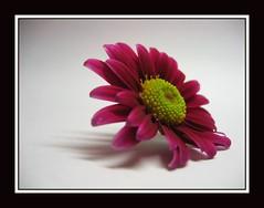 Chrysanthemum (Martinca) Tags: flowers macro martina cubism diamondclassphotographer macroflowerlovers