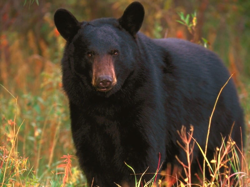 Black_Bear_Tennessee-1600x1200.jpg