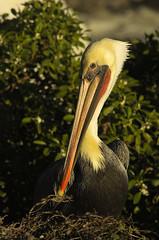 Eyeballed by a Pelican