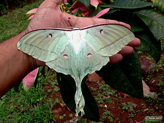 Luna Moth (An_Tarzan) Tags: lunarmoth mothsofindia