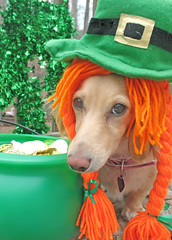 """I don't feel Irish."" (Doxieone) Tags: ireland irish orange dog cute green english hat saint long day cream dachshund honey blonde patricks haired coll longhaired honeydog englishcream halloweenfall2008set"