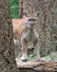 Cougar - Northwest Trek (Dave Stiles) Tags: captive cougar northwesttrek specanimal
