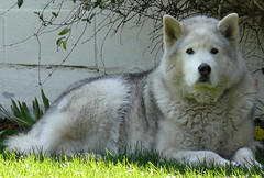 Ghost Dog (Glenn Harris (Clintriter)) Tags: dog white black oregon husky gray explore hoodriver huskie notmydog blueribbonwinner supershot
