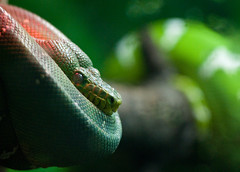 Anyone care for an apple? (leesure) Tags: green savedbythedeletemegroup snake saveme10 philadelphiazoo greentreepython saveme11 saveme12 leeshelly nikond300 allonesnake