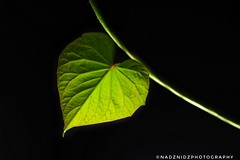MM - Heart (sweet potato leaf) (NadzNidzPhotography) Tags: happyvalentinesday leaf greenleaf sweetpotatoleaves sweetpotatoleaf backlight blackbackground minimalism green nadznidzphotography nature macromondays heart