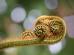 Can I come out now? (Janet Marshall LRPS) Tags: spring newgrowth fern unfurling nature plant bokeh greenery circles spirals