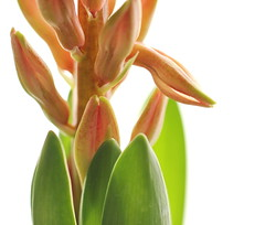 Unfolding (zinnia2012) Tags: hyacinth bud unfolding leaves zinnia2012 jacinthe pink fleur