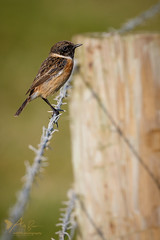 Stonechat (ABPhotosUK) Tags: animals birds canon chatsandthrushes coast devon ef100400mmisii eos7dmarkii male saxicolatorquata seasons southwestcoastalpath stonechat turdidae wembury wildlife winter