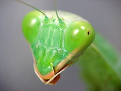 """Praying Mantis • <a style=""""font-size:0.8em;"""" href=""""http://www.flickr.com/photos/41711332@N00/3565383257/"""" target=""""_blank"""">View on Flickr</a>"""