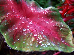 Morning Dew (mightyquinninwky) Tags: light red reflection green wet water geotagged leaf drops dof bokeh 10 5 award explore waterdrops invite elephantear smrgsbord smorgasbord cumberlandgap goldenmix southeasternkentucky middlesborokentucky anawesomeshot platinumheartaward wonderfulworldmix macromix imuniquecreative bellcountykentucky ericasmomsgarden geo:lon=83731978 geo:lat=36608673 exploreformyspacestation bestofformyspacestation