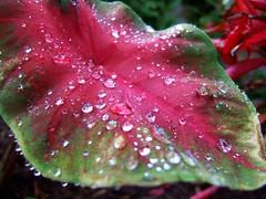 "Morning Dew (mightyquinninwky) Tags: light red reflection green wet water geotagged leaf drops dof bokeh 10 5 award explore waterdrops invite elephantear smörgåsbord smorgasbord cumberlandgap goldenmix southeasternkentucky middlesborokentucky anawesomeshot platinumheartaward ""wonderfulworldmix"" ""macromix"" imuniquecreative bellcountykentucky ericasmomsgarden geo:lon=83731978 geo:lat=36608673 exploreformyspacestation bestofformyspacestation"