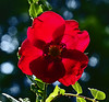 The beauty of backlighting (algo) Tags: light red green rose garden photography bravo searchthebest algo backlighting magicdonkey gtaggroup