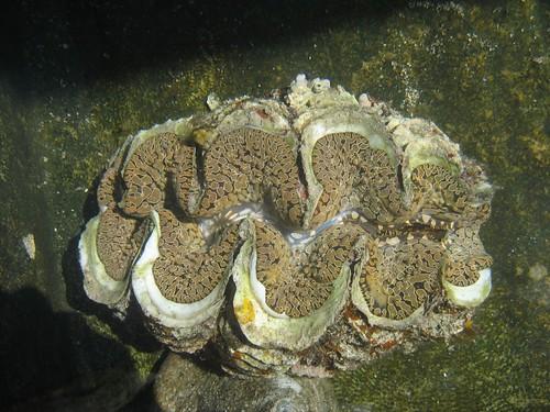 Giant clam Makogai 1