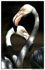 FLAMINGOS (AL-SHAIJY) Tags: bird animal zoo wildlife flamingo kuwait  hamad q8  vwc  specanimal  kuwaitpictures kuwaitwildlife  kuwaitiphotographer kuwaitphoto kuwaitphotos   kuwaitpic kuwaitpictrue kvwc  kuwaitvoluntaryworkcenter kuwaitvwc  alshaijy