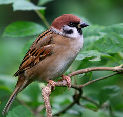Tree Sparrow (Chi Liu) Tags: bird nature canon bravo sparrow treesparrow chiliu avianexcellence onephotoweeklycontest
