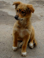 Anteojito posando (DrGEN) Tags: dog pet brown santafe argentina animal animals puppy blog yo perro cachorro rosario animales gen marron mundo mascota ceres veo drgen