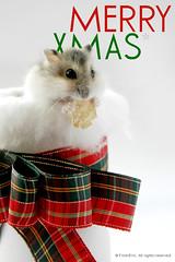 XMAS CARD -1 (EricFlickr) Tags: christmas xmas pet pets cute animal animals taiwan hamster 耶誕 倉鼠