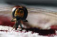 a tribute to the dragonfly (en.en) Tags: macro home indonesia dragonfly d200 bandung enen 105mm nikondslr nataliatjandra
