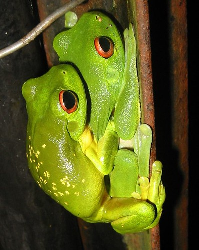 Red-eyed tree frog (Litoria chloris) in amplexus