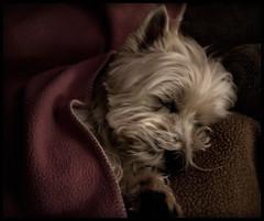 Asleep (paulh192) Tags: family sleeping dog home kirby michigan westie peaceful blanket westhighlandwhiteterrier grandrapids spoileddog impressedbeauty