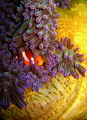 Peek-A-Boo (p@ragon) Tags: sea underwater scuba diving clownfish anemone anilao batangas reef coralreef paragon tropicalreef wpdc9 diamondclassphotographer anilao2008