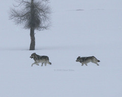 Druid Peak Wolves - Yellowstone (Dave Stiles) Tags: winter wolf wildlife yellowstonenationalpark yellowstone wolves druids stiles canislupus yellowstonewildlife naturewatcher druidpeakwolfpack ynpwinter2008
