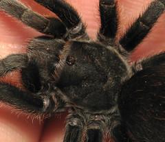 Aphonopelma behlei prosoma (DVL-91) Tags: arizona black macro canon handle spider is arachnid fingers grand canyon tarantula s5 carapace dcr250 aphonopelma prosoma behlei