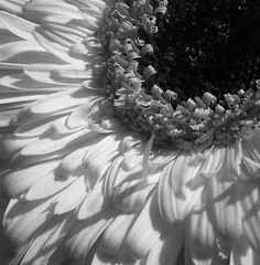 daisy days (the bonnie blues) Tags: blackandwhite flower macro nature petals gerbera daisy artlegacy