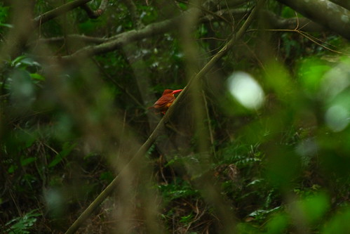 Ruddy Kingfisher 赤翡翠 - IMG_6437