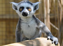 Curious baby ring-tailed lemur (john a d willis) Tags: baby cotswolds lemur madagascar ringtailed potofgold wildlifepark supershot ar1 nikor18200vr specanimal diamondclassphotographer flickrdiamond diamondclass perfectphotographer itsazoooutthere lenscraft