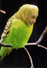 Daje Cocorì (Master Mason) Tags: lovebird juventus ranieri mastermason cocorito scommessapersa