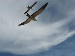 Sooty Tern (sbittinger) Tags: lordhoweisland