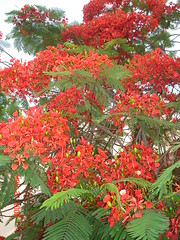 Delonix Regia - Royal Poinciana - one of my fave trees (syzygy_in) Tags: flowers flower nature delonixregia gulmohar royalpoinciana