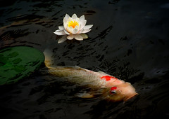 Water Lily and Carp (h orihashi) Tags: flowers flower macro nature topf25 japan pond pentax hiroshima  carp  inspire   naturesfinest blueribbonwinner 10faves favorites25 flowerotica 25faves golddragon mywinners abigfave k10d pentaxk10d platinumphoto anawesomeshot aplusphoto flickrhearts diamondclassphotographer flickrdiamond superhearts theunforgettablepictures platinumheartaward betterthangood justpentax theperfectphotographer goldstaraward photosexplore