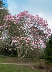 20170218-P1040875.jpg (foxgold) Tags: england carrickroads trelissick flowersplants magnolia places cornwall uk europe feock unitedkingdom gb