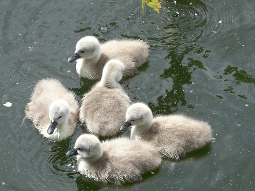 Cygnets on Surry Water