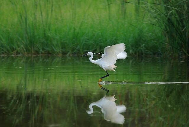 小白鷺 - Egretta garzetta