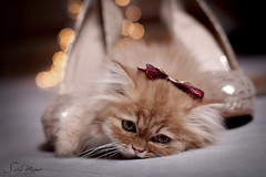relax and enjoy life ...  (SaRa Meow  .. / @sosoMeow) Tags: pet pets brown cute love night cat eyes kitten bokeh heels meow