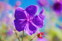 Purple (j6snowman) Tags: 50mm nikon perfect photographer passion photograpy the d40 goldenmix macromix colourartaward wonderfulworldmix