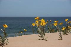 flores silvestres y mar (Patounica) Tags: sea flores beach sand playa arena amarillo punta este photofaceoffwinner pfogold