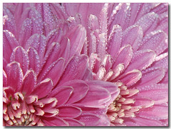 drops... (Lyubov) Tags: pink flowers autumn flower macro nature ilovenature mums mum flowerotica thebiggestgroup mywinners worldbest platinumphoto colorphotoaward diamondclassphotographer flickrdiamond flowersandgarden