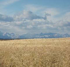 Grain fields and Rockies (ocean.flynn) Tags: autumn foothills canada fall geotagged rockies alberta prairies googleearth geotag geotagging calgarydaytrips