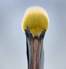 Evil Eye Stare (riclane) Tags: portrait bird eyes florida feathers pelican stare supershot mywinners avianexcellence diamondclassphotographer flickrdiamond jalalspagesbirdswatchersalbum 1on1animalsnonpetphotooftheweek 1on1animalsnonpetphotooftheweeknovember2007