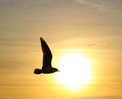 Into the sun.... (farmerytwang) Tags: uk sunset gull newforest aplusphoto superbmasterpiece